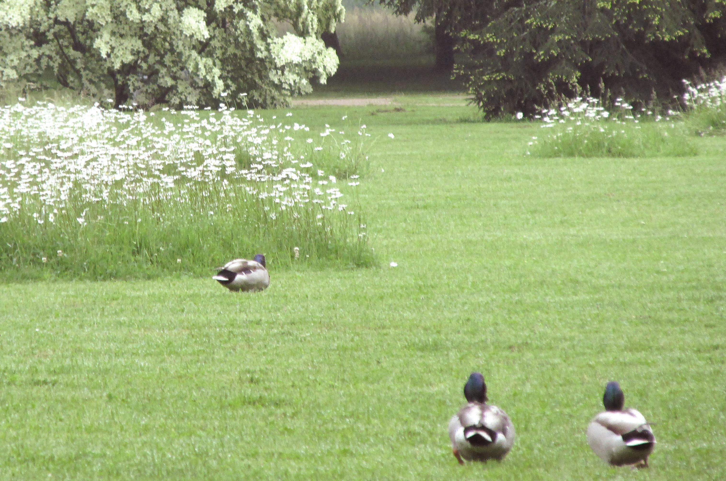 Enten im Garten von Schloss Favorite Rastatt; Foto: Staatliche Schlösser und Gärten Baden-Württemberg, Kai von der Schmitt