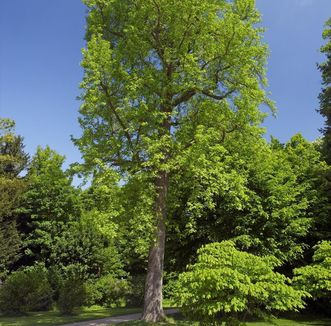 Amerikanischer Amberbaum im Schlossgarten von Schloss Favorite Rastatt; Foto: Staatliche Schlösser und Gärten Baden-Württemberg, Andrea Rachele