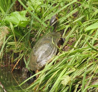 Image: Turtle by the pond in the garden, Rastatt Favorite Palace