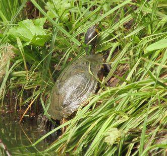 Wasserschildkröte am Weiher im Garten von Schloss Favorite Rastatt; Foto: Staatliche Schlösser und Gärten Baden-Württemberg, Kai von der Schmitt