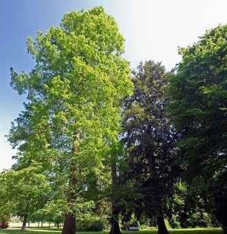 Urweltmammutbaum im Garten von Schloss Favorite Rastatt; Foto: Staatliche Schlösser und Gärten Baden-Württemberg, Andrea Rachele