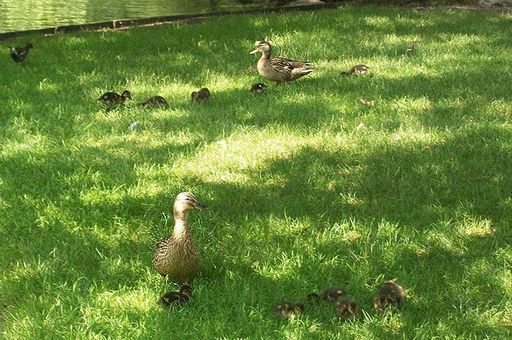 Image: Ducks and their spring ducklings in the palace garden