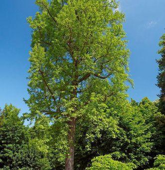 Amerikanischer Amberbaum im Garten von Schloss Favorite Rastatt; Foto: Staatliche Schlösser und Gärten Baden-Württemberg, Andrea Rachele