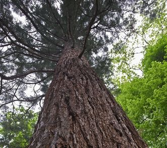 Mammutbaum im Schlossgarten von Schloss Favorite Rastatt